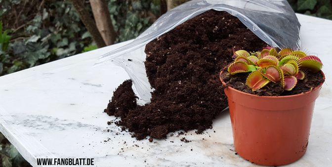 Jetzt ist umtopfen und teilen der fleischfressenden Pflanzen angesagt. Wichtig das richtige Substrat. Qualitativ einwandfreier Torf im richtigen Mischverhältnis mit Quarzsand und Perliten, dann kann nichts schief gehen.