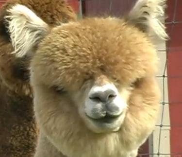 Alpakalar – Vicugna pacos  Alpakalar lama benzeri calı olmasına rağmen orjinleri halen tartışmalıdır.Kimi görüşe göre lama ve vikunya karışımı bir melez tür olduğu görüşüde vardır