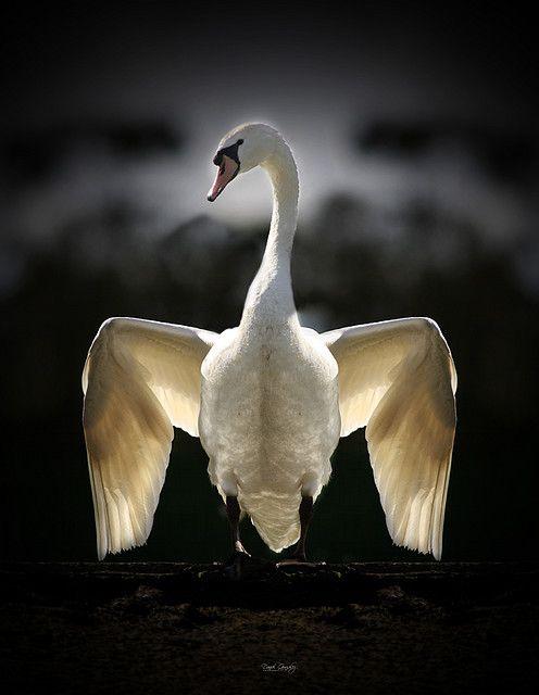 Perfect - Swan