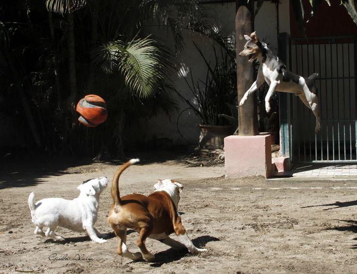 Balotelli da Pedra de Guaratiba O cão voador! Nasc: 26/09/13. Proprietário: Bruno. Site: http://www.canilpguaratiba.com #canilpedradeguaratiba  #foxpaulistinha  #terrierbrasileiro