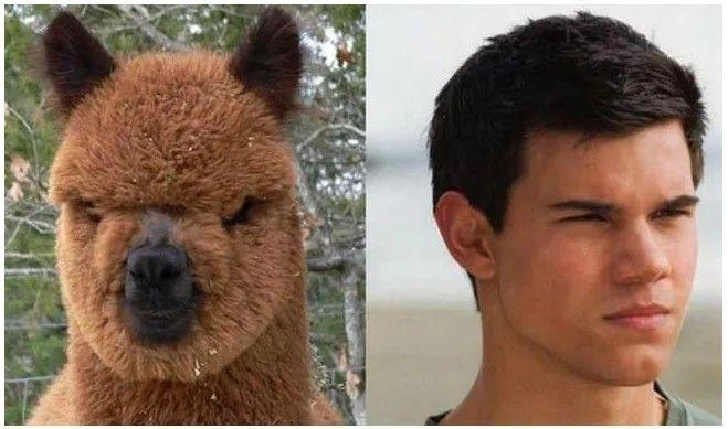 #3. Taylor Lautner Look Alike Alpaca
