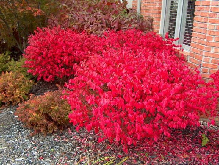 """""""Rudy Haag"""" dwarf burning bush can stand in for the invasive burning bush species and grows 5' tall by 5' wide. This cultivar forms a dense mound of fine twiggy branches. Fall color can be a bright pink to a fire engine red. It has been reported to be nearly seedless."""