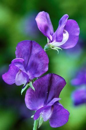Lathyrus Odoratus Lord Nelson Sweet Pea Flowers