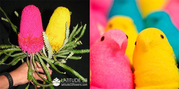 Flower Peeps!  Pink Banksia, Yellow Banksia #paintedflowers #candyflowers