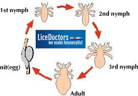 Lice life cycle...adults lay eggs (nits) which mature and hatch babies (nymphs) emerge.