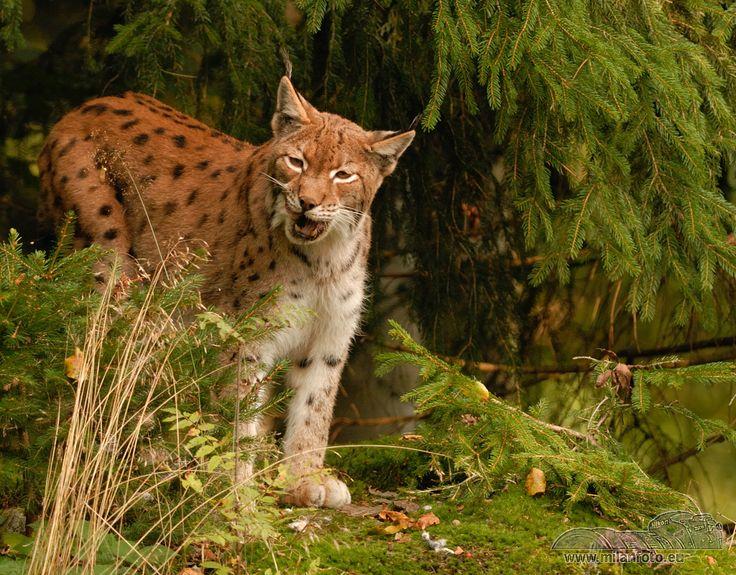 je kočkovitá šelma přirozeně se vyskytující v Eurasii. Je největší kočkovitou šelmou Evropy a náleží mezi druhy chráněné Bernskou konvencí. Podle českých zákonů náleží mezi silně ohrožené a chráněné druhy, které nelze lovit.
