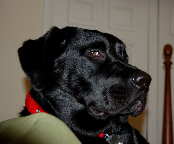 Black Labrador Retriever, Thats the look saying I'm not sure what you think you are doing, but your sort of irritating me. Beautiful Dog.