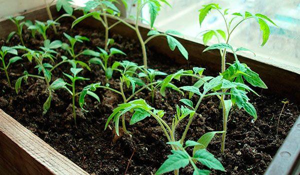 Точное соблюдение этого графика обеспечит хороший урожай помидоров