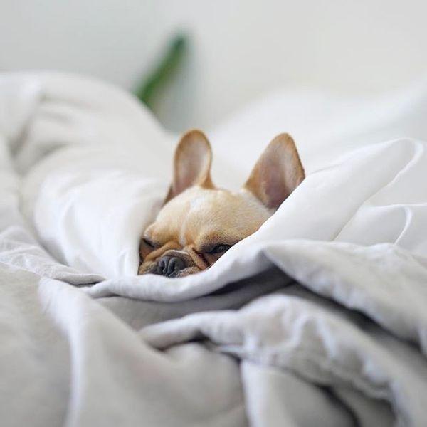 """Not today... no way, no how"", Leo, the Lazy French Bulldog, @frenchieleo on instagram"