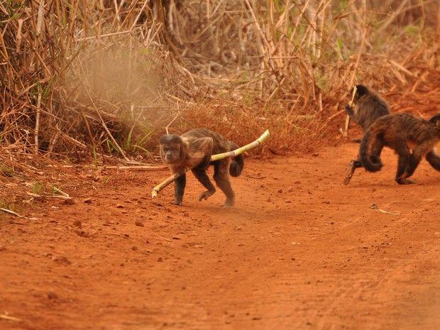 Macacos-prego são fotografados furtando cana em fazenda (Foto: Dirceu Martins/ TG)