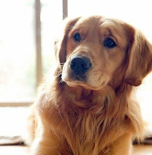 Am I looking cute?? #collarbuddies #Labrador_pictures #labrador #mylabrador…