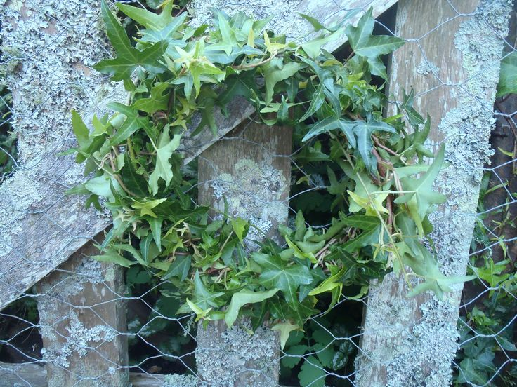 Ivy wreaths are really easy to make  and add great natural colour to a room, especially for mid-winter Christmas parties. They work best in Winter, as they tend to wilt quickly in summer heat. 100% natural.