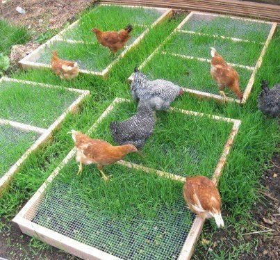 urban chickens - screen protect grass from being scratched up until it is long enough for them to nip at.