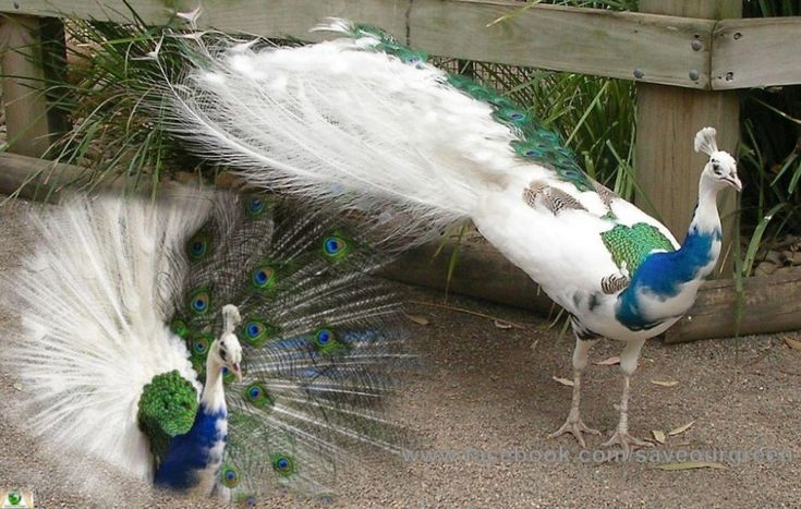 There are blue peacocks and white peacocks and sometimes there is a blue-white peacock. This is not an edited photo, but a freak of nature. It doesn't look freaky, on the contrary, it looks very special.