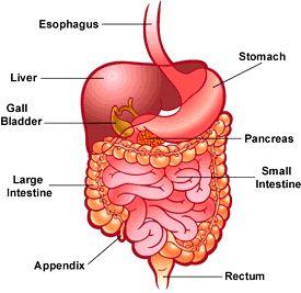 Best 25+ Human digestive system ideas on Pinterest