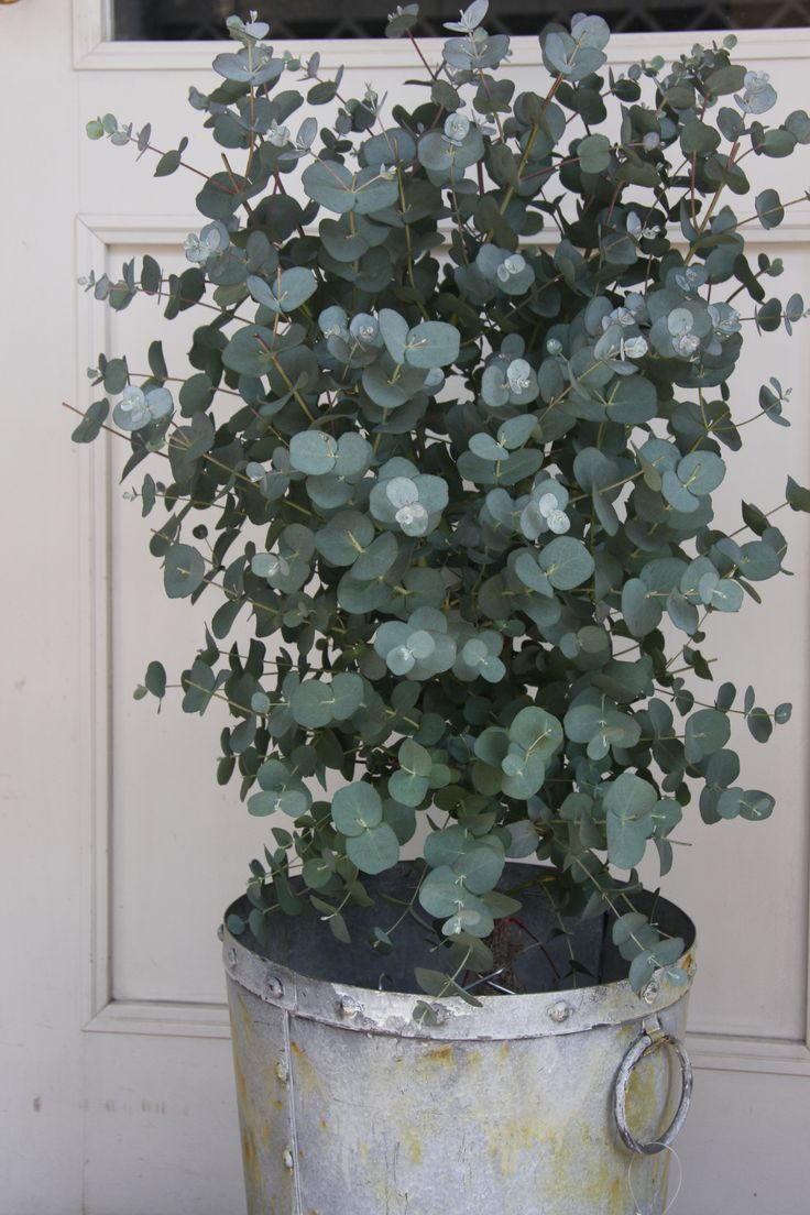 Eucalyptus. fragrant and mine have been extremely fast growing. planted it a year ago...it was 3 feet tall, now it's about 10 feet tall! It loves it sunny spot.