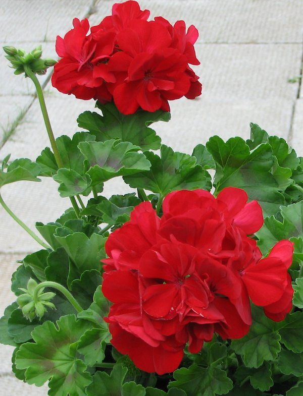 Add more red geraniums around the backyard and repot three white geraniums from front yard and move to the backyard.
