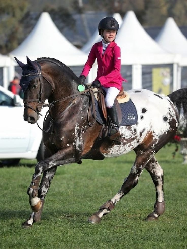 Cayuse Bling Du Rouet - New Zealand - Appaloosa stallion at stud