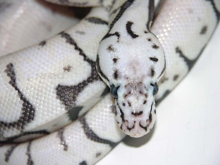1000+ images about Ball Python Morphs on Pinterest ...