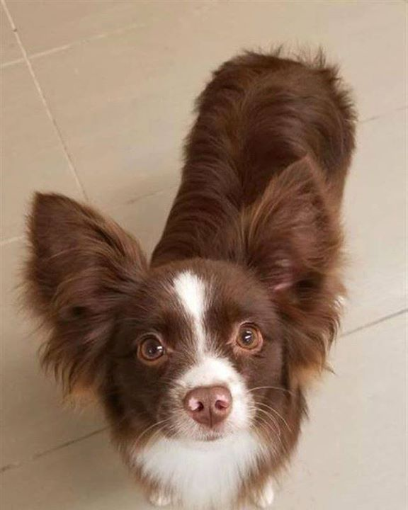 Lost Dog Duluth Australian Shepherd Mix Male Date Lost 11 16 2018 Dog S Name Oso Breed Of Dog Australian Shepherd Mix Losing A Dog Losing A Pet Dog Ages