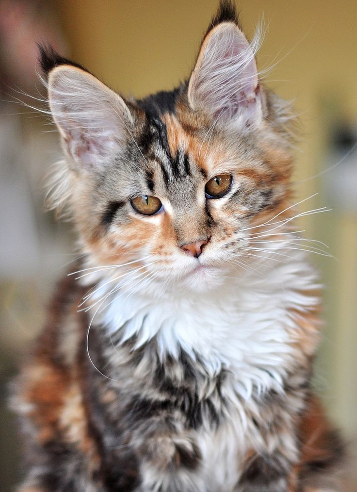 1000+ images about calico cats & kittens on Pinterest ...