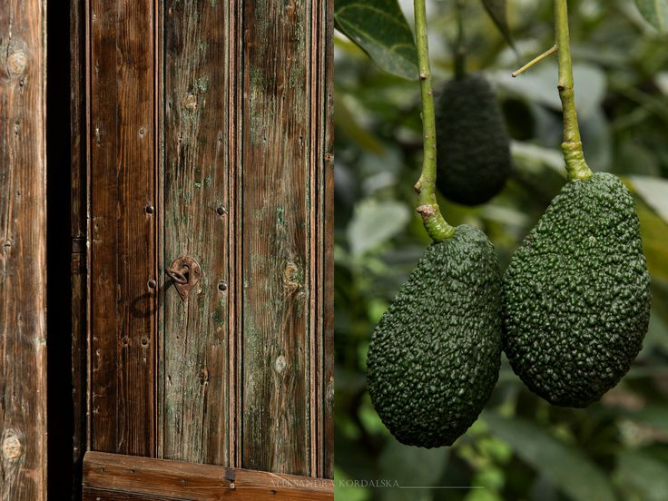 https://flic.kr/p/SkHEhs | Avocado Farm