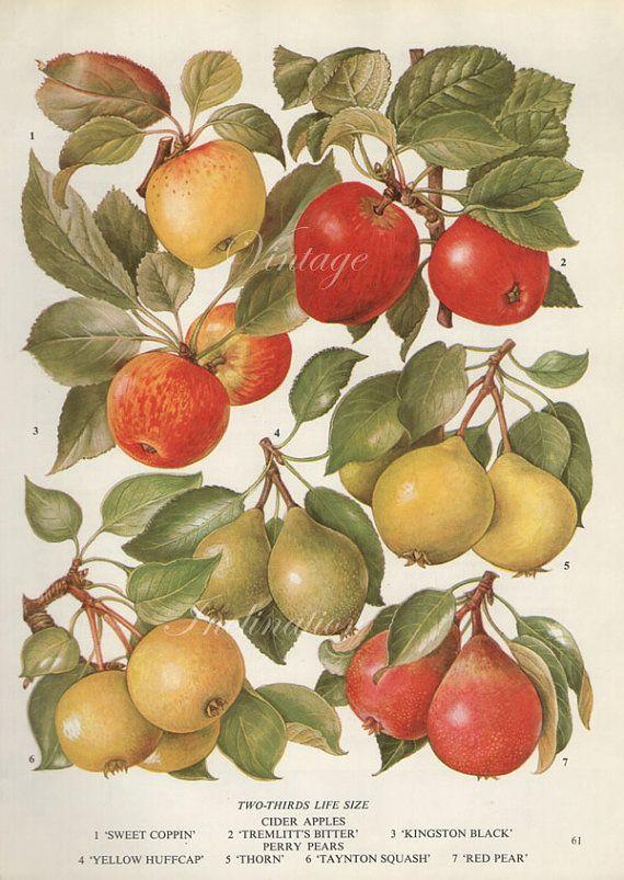 Vintage Botanical Print Antique APPLES VARIETIES 61, plant print botanical print, bookplate art print, apple fruit plants plant wall print