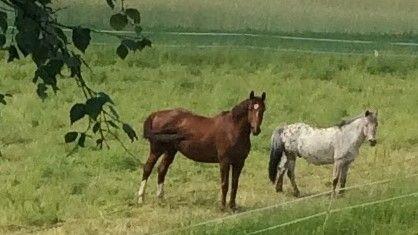 Hevoset lähilaitumella...