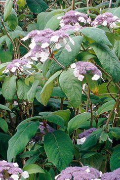 Suggestie: Hydrangea aspera Villosa Group