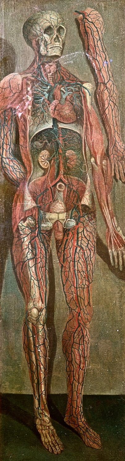"Figura anatómica de Jacques Fabien Gautier d'Agoty ""Anatomical Figures"" (1764)"