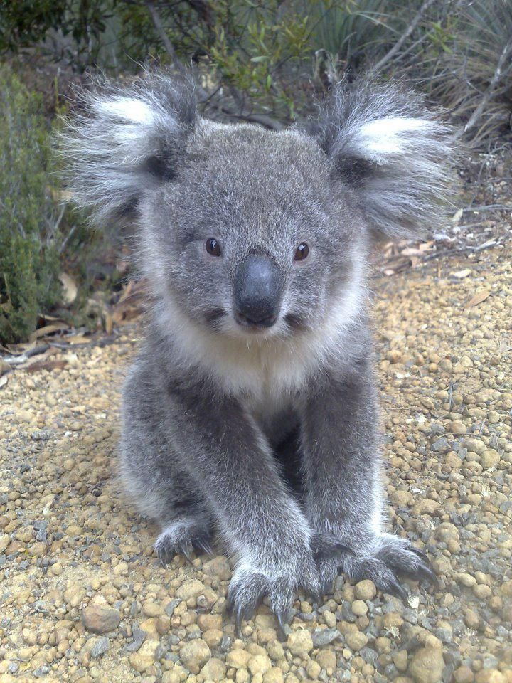 Baby Koala on Kangaroo Island <3 <3 <3