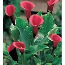 Bulbos De Alcatraces De Colores Zantedeschia Callas