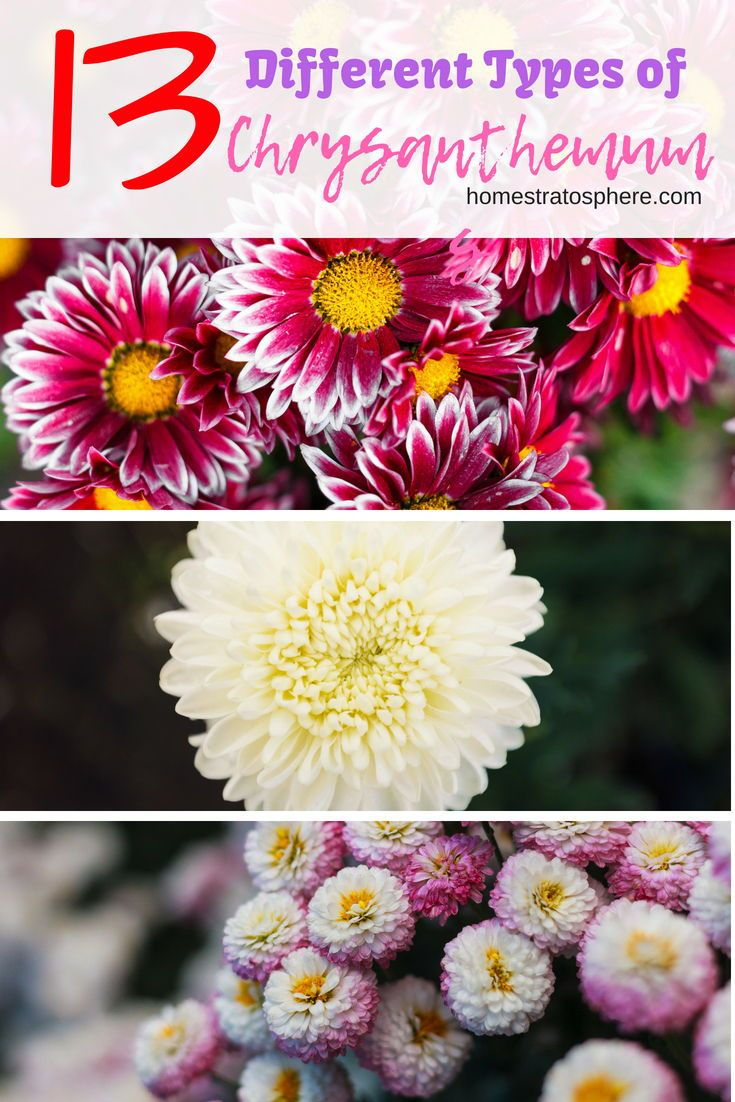 13 Different Types Of Chrysanthemums Plus Planting Tips And Health Benefits Mums Flowers Chrysanthemum Flowers