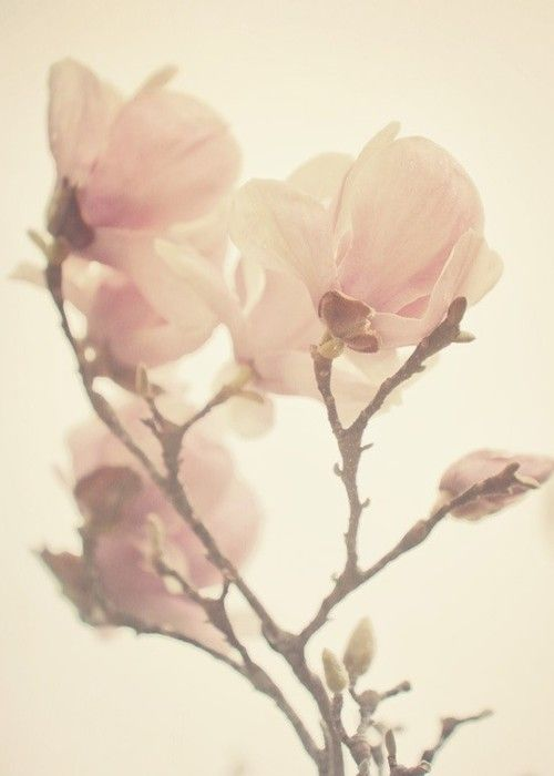 delicate beauty...: Pink Flowers, Rose Flowers, Magnolias, Soft Pink, Pale Pink, Beautiful, Gardens Rose, Pink Rose, Blossoms