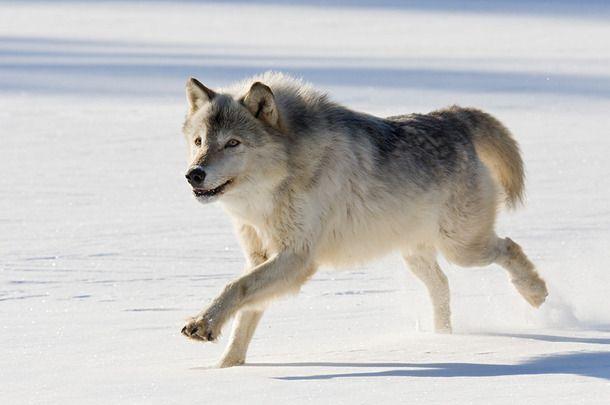snow wolf cute run arctic animal running favim wolves endangered animals scary