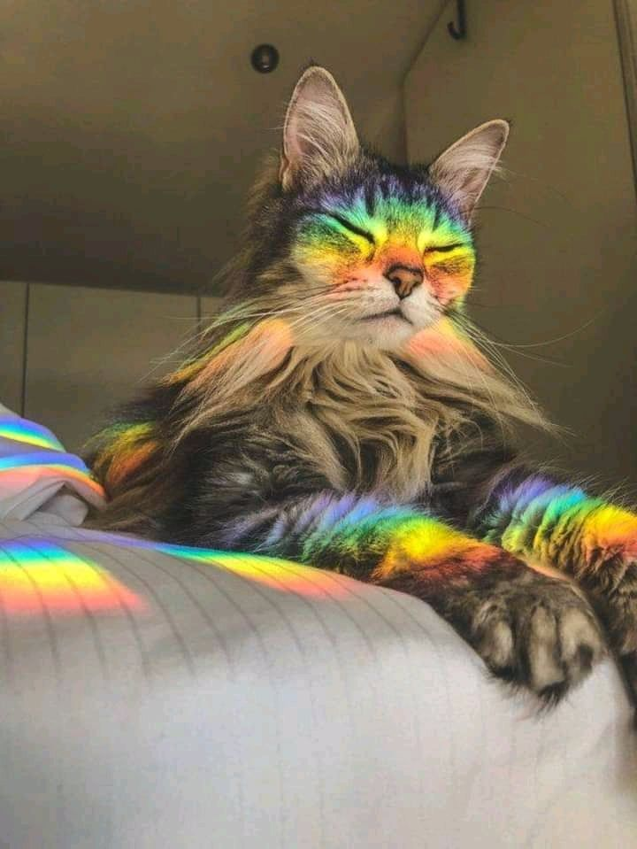 Rainbows Cat Animals Aesthetic Rainbow Kitten Nature Lady Animal Crazy Style Photography Https Weheartit Com Ent Cute Animals Cute Cats Nyan Cat