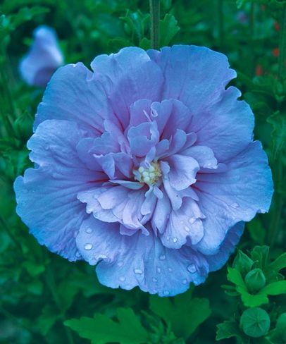 Hibiscus syriacus 'Blue Chiffon'