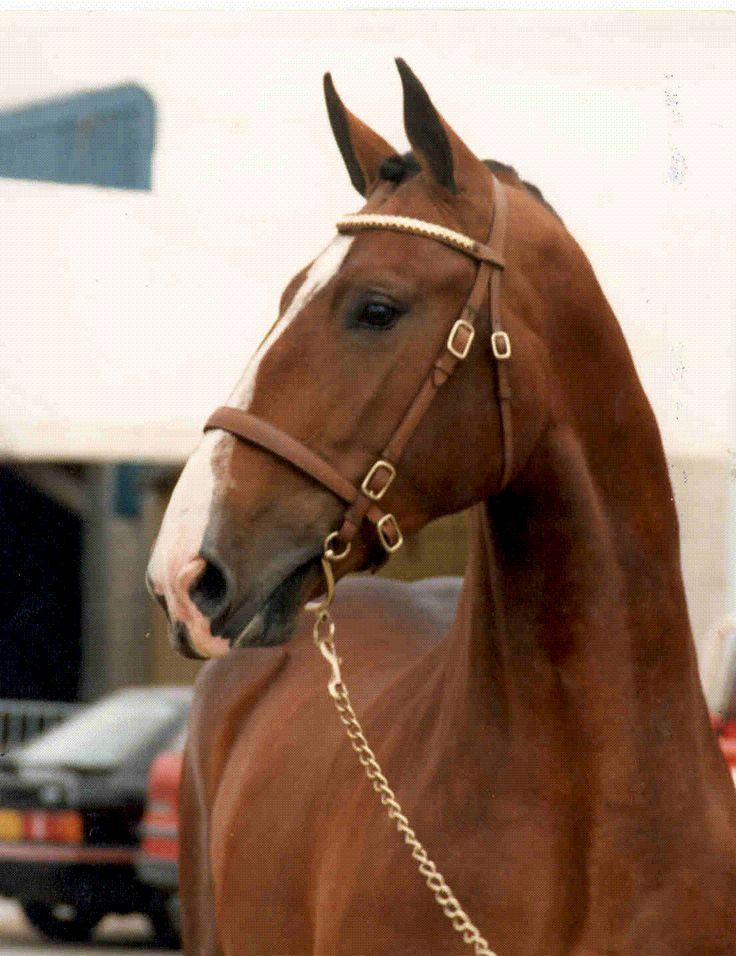 Banks Fee Daniel - Stallion - Irish Draught Horse