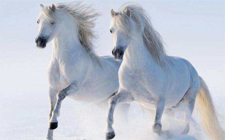 Hayvan iki güzel beyaz atlar koşu karda 5 Boyutları Duvar Dekor Tuval Poster Baskı Yağlıboya Duvar Resimleri(China (Mainland))