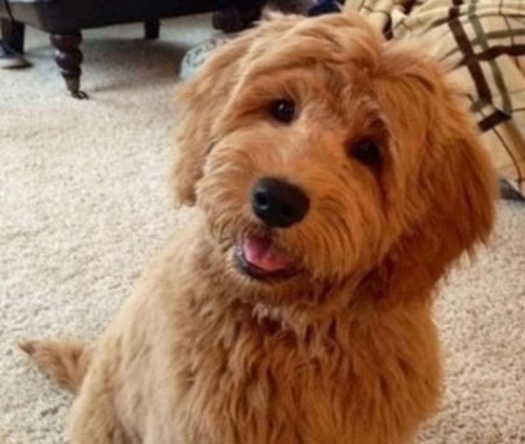 toy goldendoodle | We ...