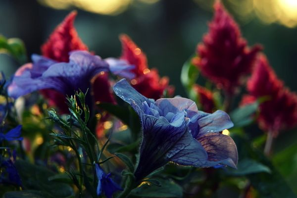 Purple petunia in sunset light