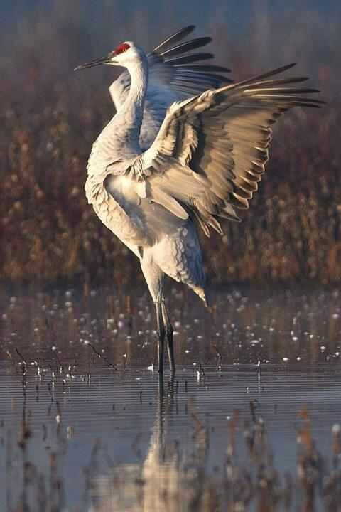 Sandhill Cranes: Grus Canadensis Height: ~80 cm-1.2 m, 3-5 ft Weight: ~ 3-6.5 kg, 6.5-14 lbs Wingspan: ~5-6 ft. Population: ~650,000 Trend: Stable to increasing, except for isolated populations (see below), Subspecies:Grus canadensis canadensis (Lesser Sandhill) Grus canadensis tabida (Greater Sandhill) Grus canadensis rowani (Canadian Sandhill) Grus canadensis pratensis (Florida Sandhill) Grus canadensis pulla (Mississippi Sandhill) Grus canadensis nesiotes (Cuban Sandhill)