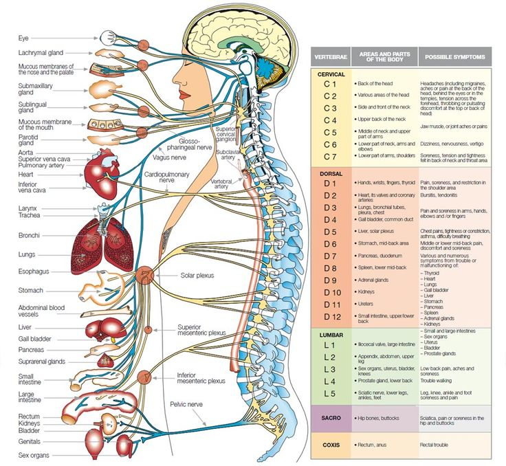 The central nervous system (CNS), which is protected by the spinal column and the cranium, controls the function of all the cells, tissues and organs of the human body.