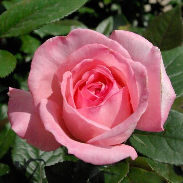 Rosier Fragonard®