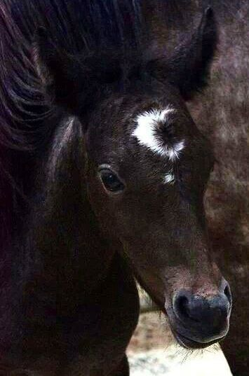 Ein kleines Fohlen mit einem Halbmond und einem Stern auf dem Gesicht. #APASSIONATA