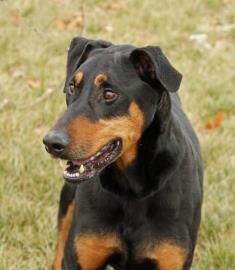Meet Ranger at our Pet #Adoption Center in #Independence, #Missouri !