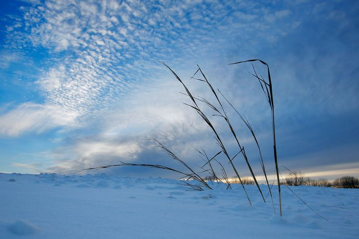 Grass pokes up through snow in a field at Laudholm Farm in Wells. Research conducted at the Wells Reserve at Laudholm includes understanding salt marsh habitats and plants. Gregory Rec/Staff Photographer
