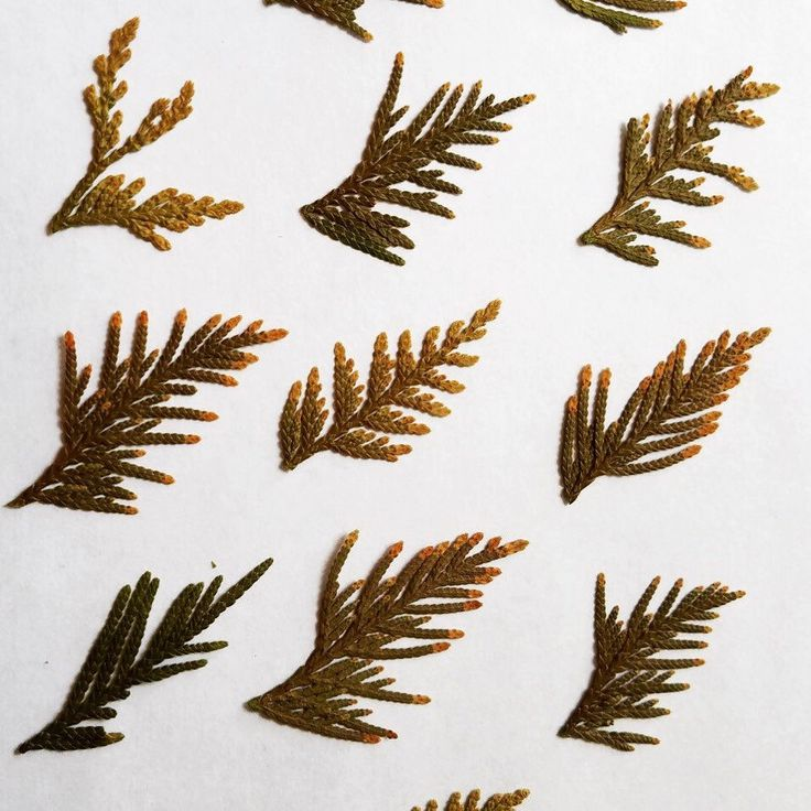Beautiful pine leaf #pine #leaf #craft #supply #schoolproblems #schoolproject #gift #giftwrapping #nature #naturals #teaching #decoration #wedding #party #tabledecor #babyshower #birthdaypresent #birthdaygirl #birthdaygift #poster #project #teachingsupply
