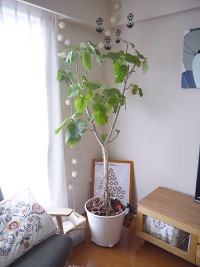 ウンベラータをIKEAの自動水やり機能付き植木鉢へ植え替え   Kirakuni-Sutekilife ~マンションで北欧インテリアなお部屋を目指して~