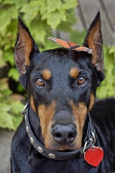 Doberman Pinscher...I absolutely love the contrast in this picture..can you tell what's on his mind?? anybody's guess I'd say ;o